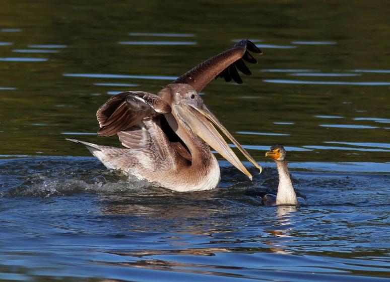 Pelican Drops in on Cormorant