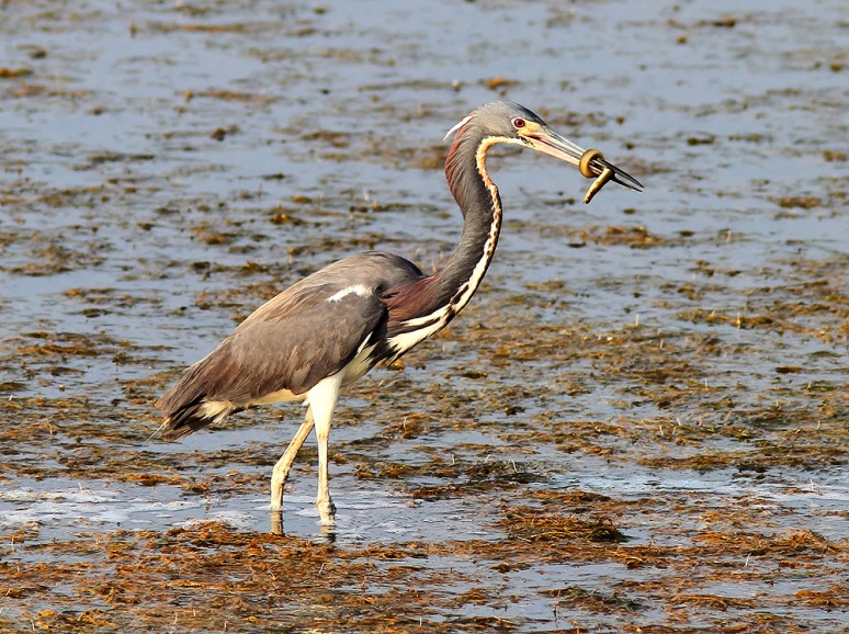 Tricolored Heron Catches Eel