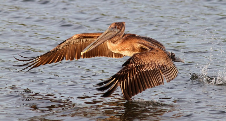 Young Brown Pelican Makes A Splash