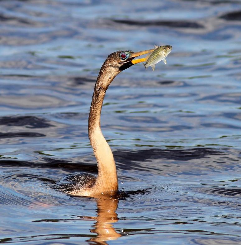 Anhinga Fishing