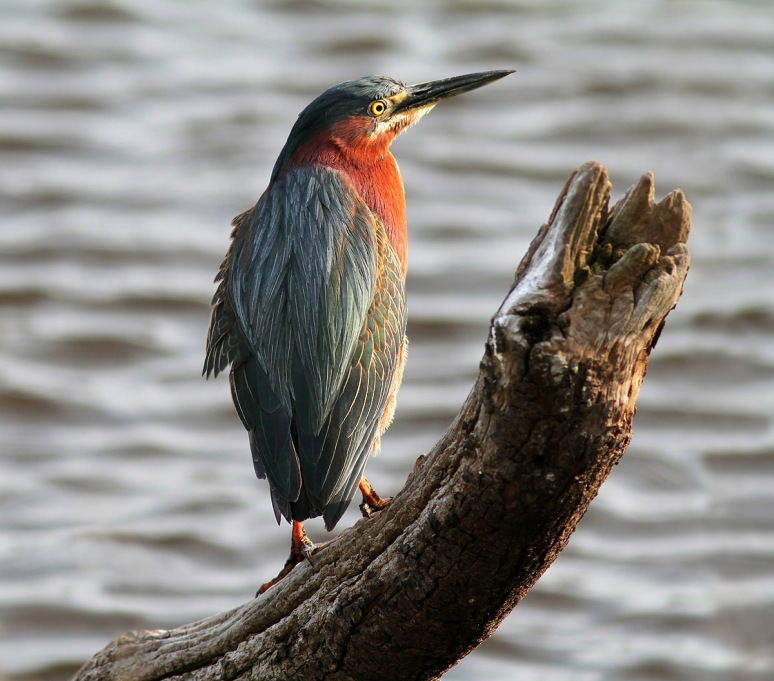 Green Heron at Edge of Marsh Pond