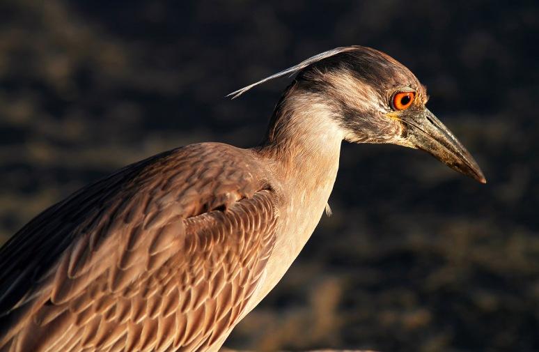 Juvenile Yellow Crowned Night Heron