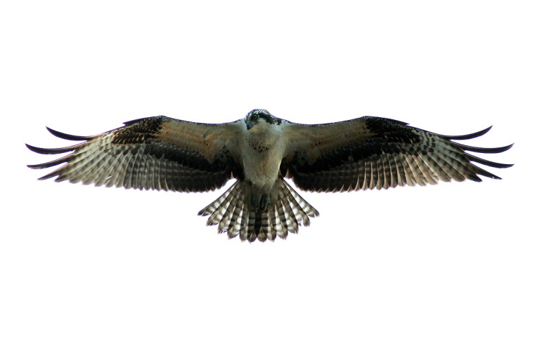Osprey Flight Against Grey Sky
