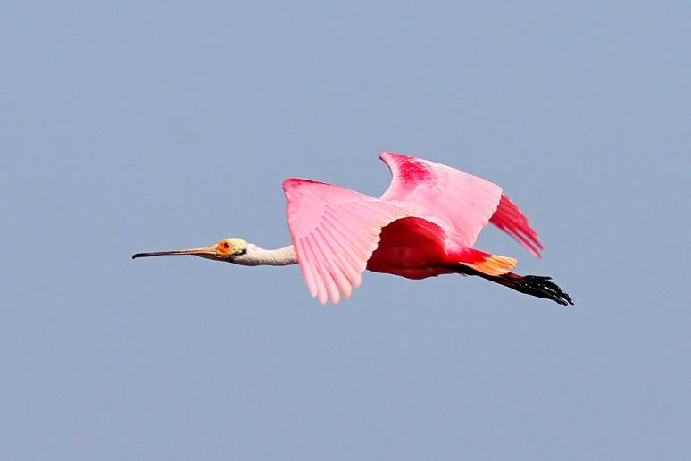 Spoonbill Flight Across the Salt Marsh
