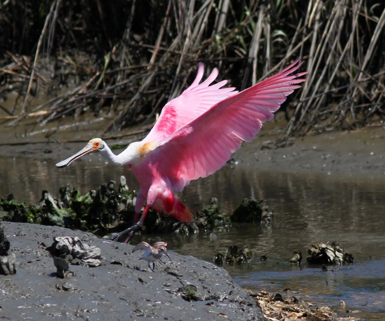 Spoonbill Incoming