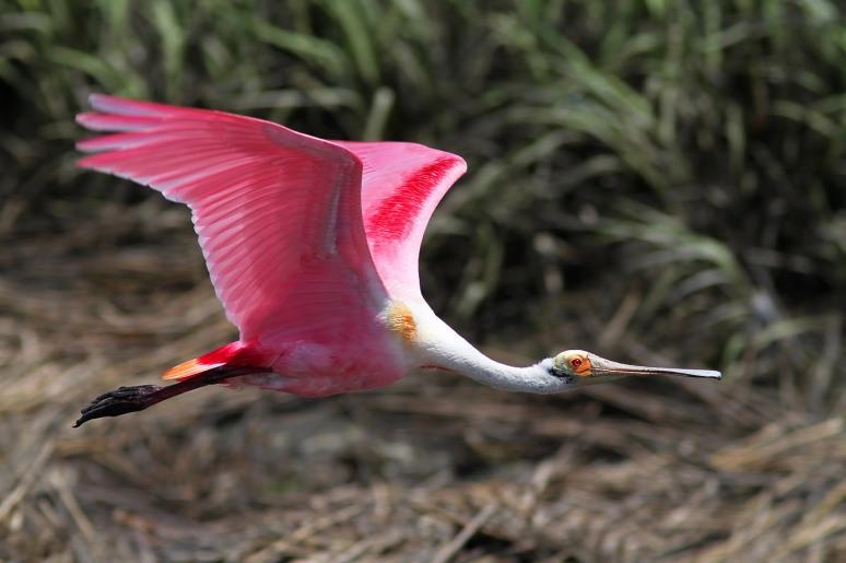 Spoonbill Leaving the Salt Marsh