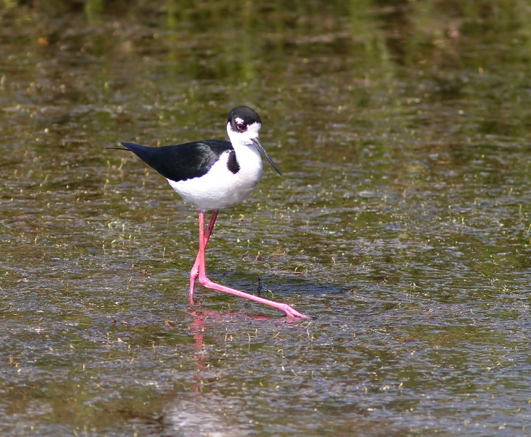Stilt in Marsh Pond