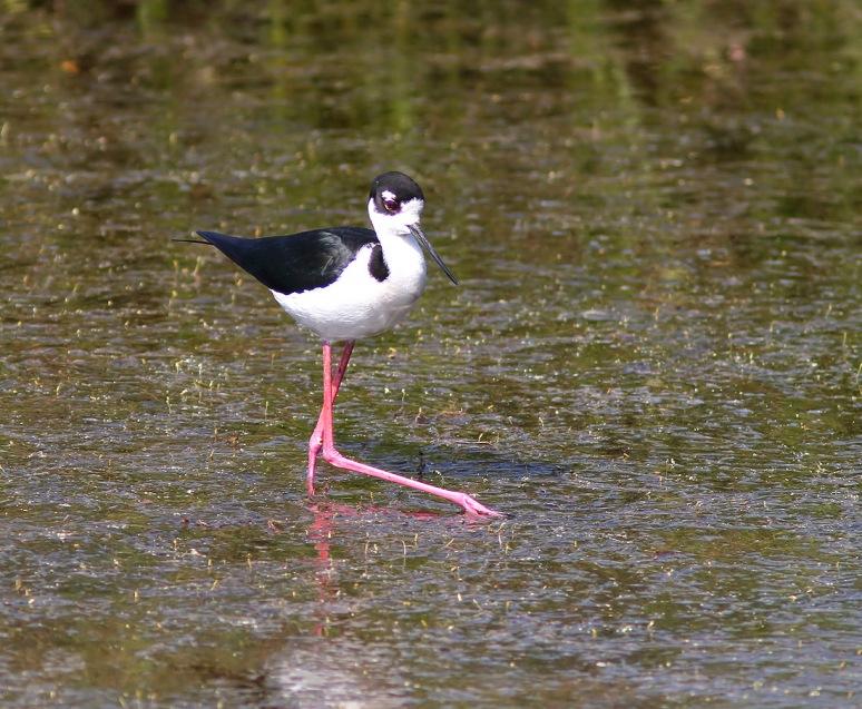 Stilt in Marsh Pond