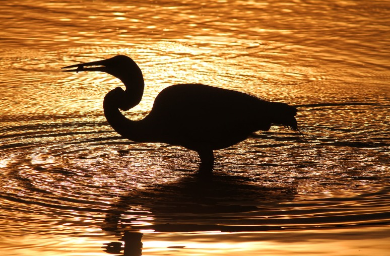 Sunset Silhouette of Egret Fishing