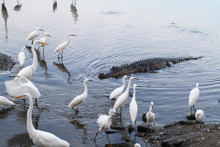 Alligator and Egrets