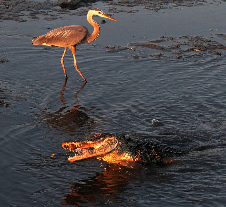 Alligator and GBH Fishing in Salt Marsh
