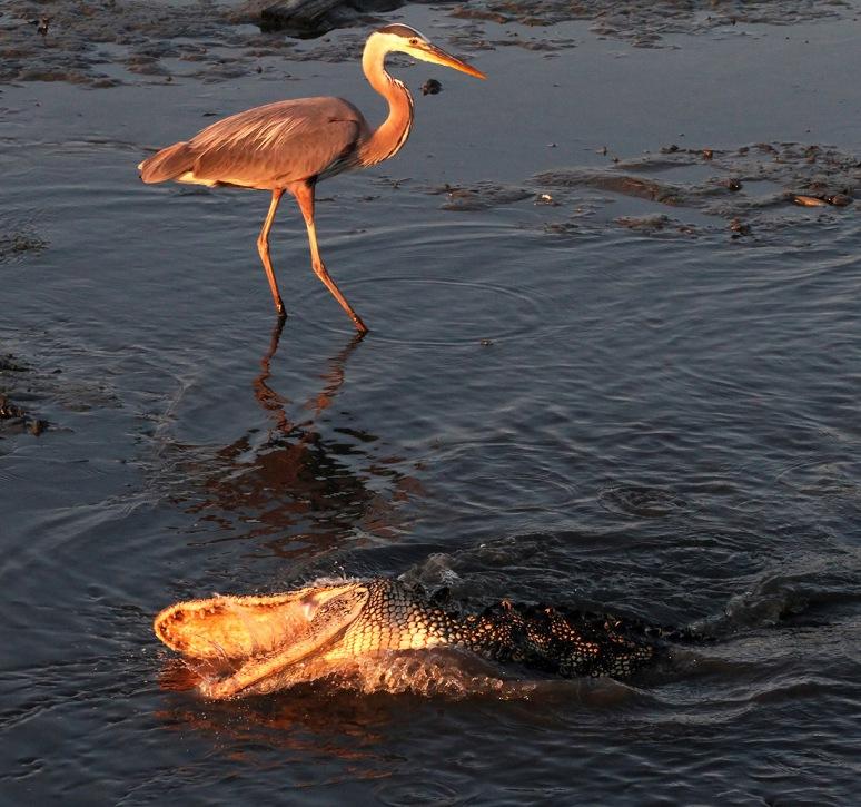 Alligator and GBH Fishing in Salt Marsh