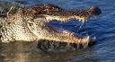 Alligator Evening Feeding in Salt Marsh