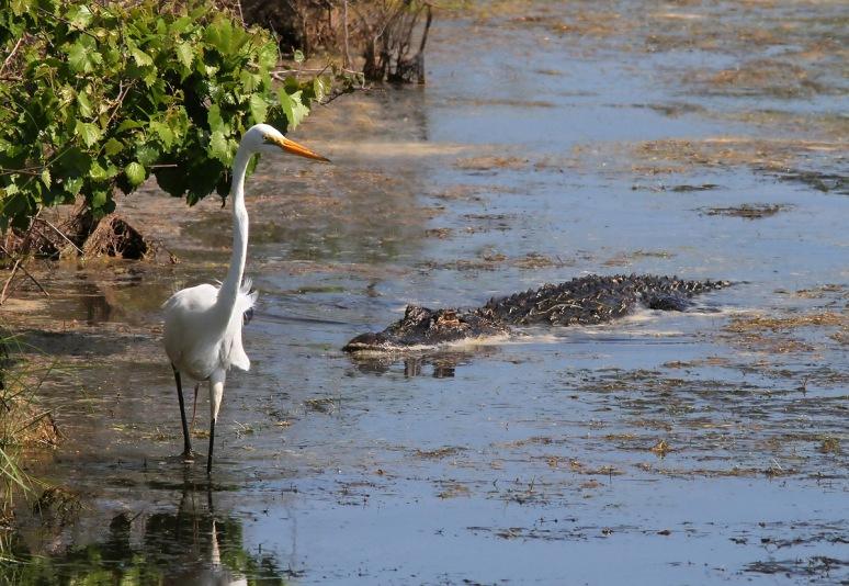 Alligator Watching Egret