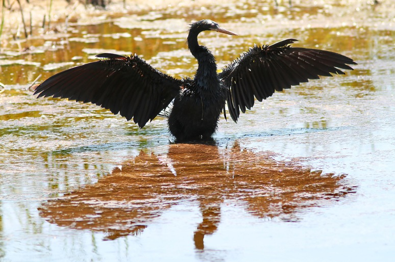 Anhinga Fishing and Drying