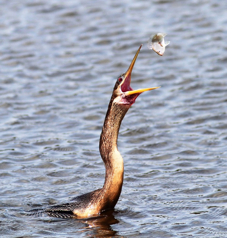 Anhinga Morning Fishing in Marsh Pond