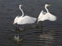 Egrets Dance Away