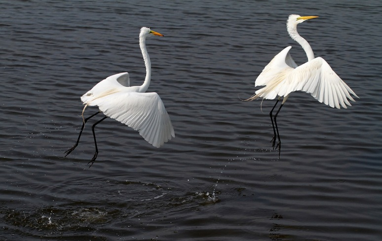 Egrets Dance Away