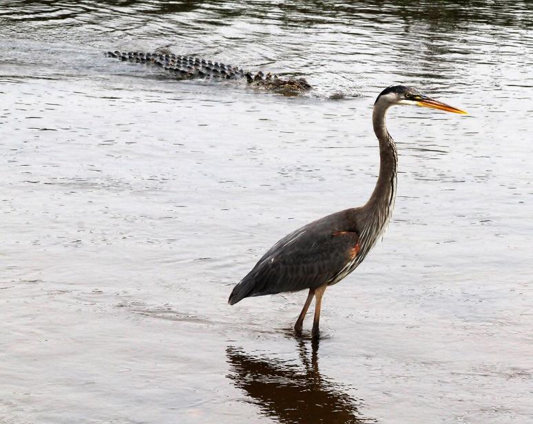 GBH and Alligators in Salt Marsh