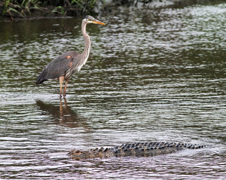 GBH and Alligators in Salt Marsh