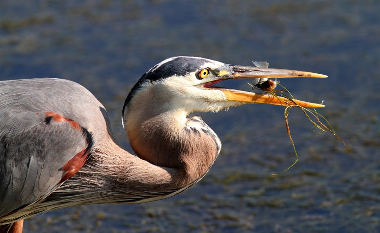 GBH Fishing in Marsh
