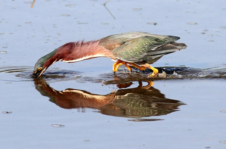 Green Heron Fishing in Salt Marsh