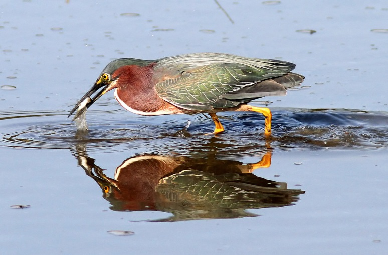 Green Heron Fishing in Salt Marsh