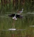 Stilt Takeoff From Marsh Pond
