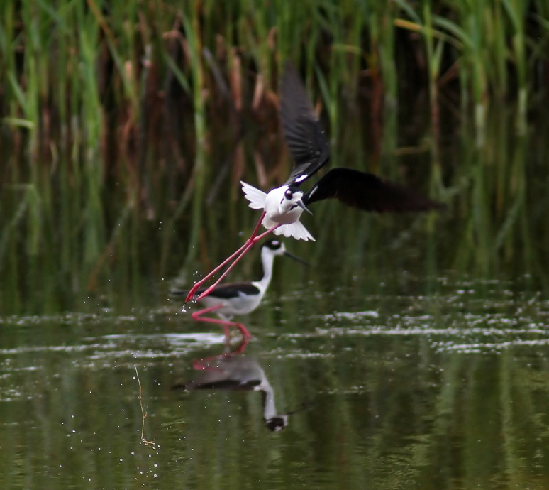 Stilt Takeoff From Marsh Pond