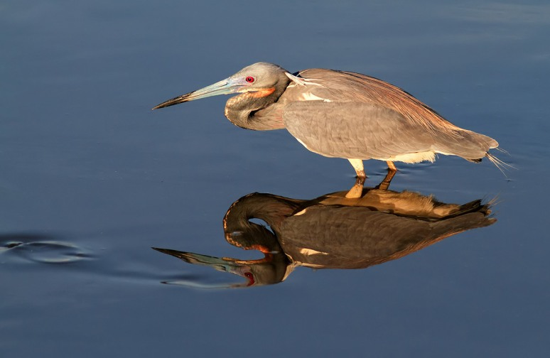Tricolor Heron Fishing with Reflection
