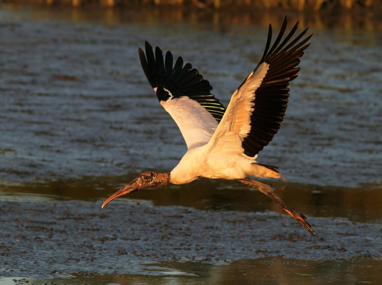 Wood Stork Fly and Feed