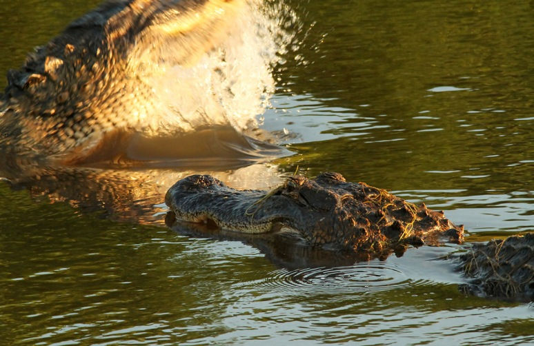 Alligator Fight in the Marsh