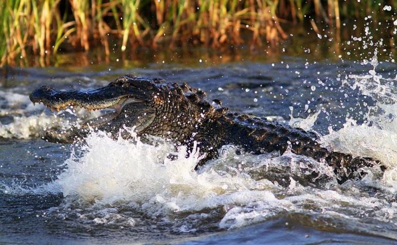 Alligator Fight in the Marsh
