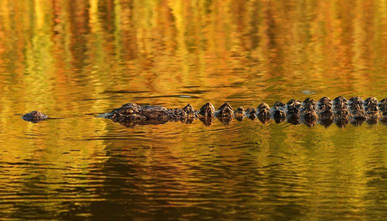 Alligator in Sunset Lighting