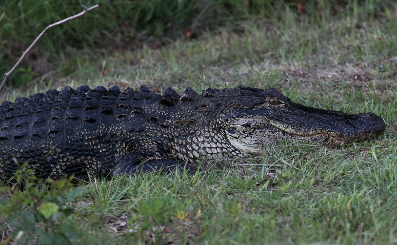 Alligator Takes Late Evening Walk