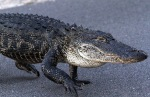 Alligator Takes Late EveningWalk