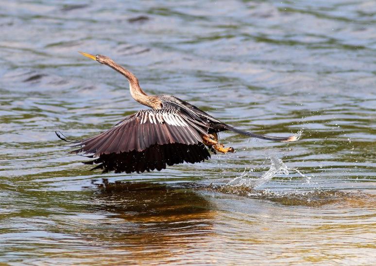 Anhinga Fly and Fish