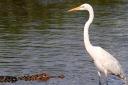 Egret and Alligator in the Salt Marsh
