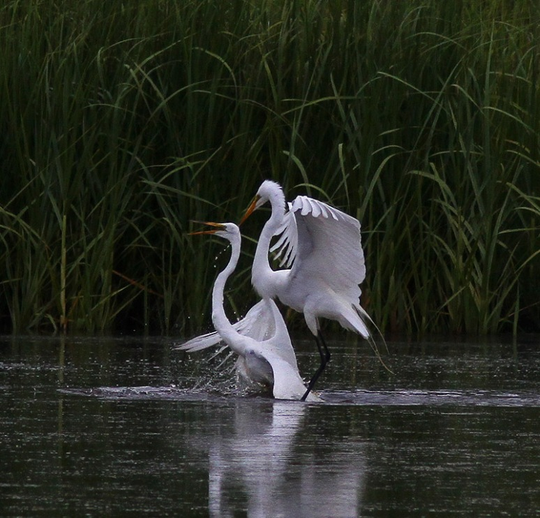 Egret Fight in the Marsh Pond