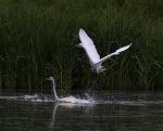 Egret Fight in the MarshPond
