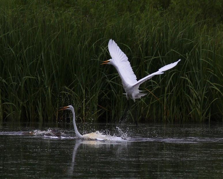 Egret Fight in the Marsh Pond