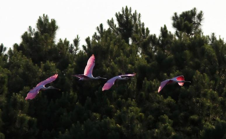 Four June Spoonbills