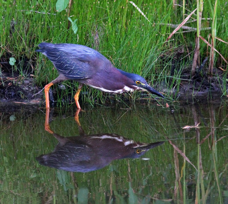 Green Heron Fishing in the Marsh