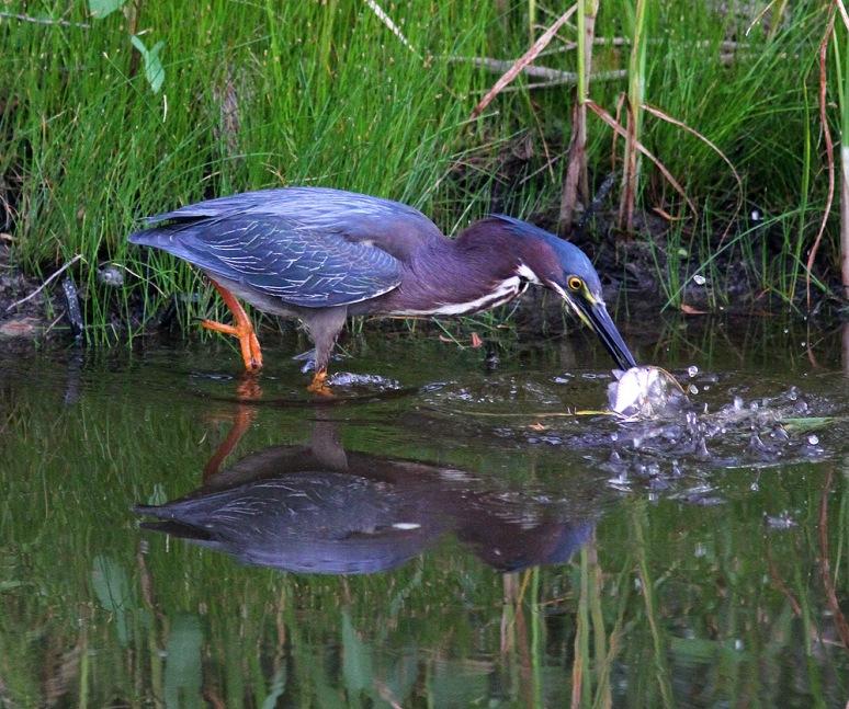 Green Heron Fishing in the Marsh