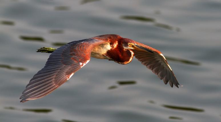 Juvi Tricolored Flight