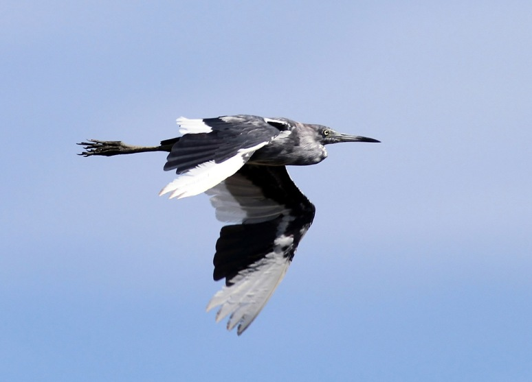 Little Blue Heron Flights