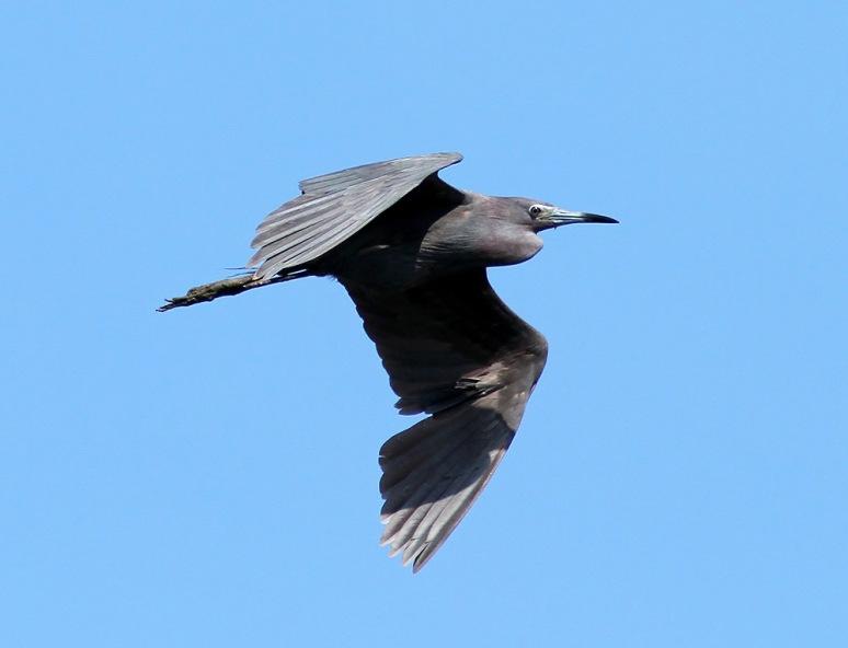 Little Blue Heron Flights
