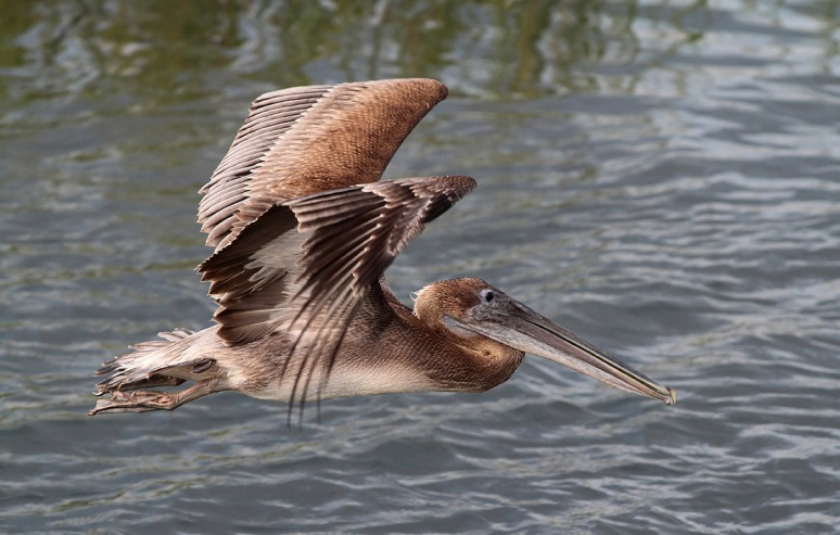 Pelican Fly and Pose
