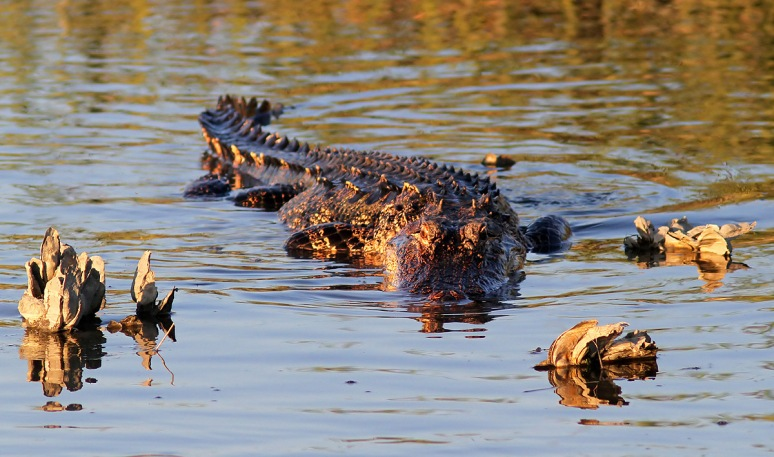Snowy and Alligator in Salt Marsh