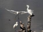 Three Egrets on aStump